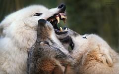 WOLF TALK (babsbaron) Tags: natur tiere animals wolf wölfe wolves zoo tierpar lüneburg jäger raubtier predator talk unterhaltung