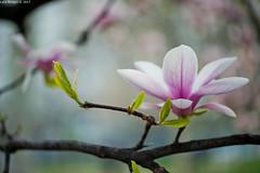 spring (Luca Ricagni) Tags: luca ricagni lucaricagni wwwlucaricagniit flowers flower nature spring nikon d700 sigma105macro sigma sigma105mm 105mm 105