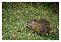 Plaiaundi [Espagne | Spain] (BerColly) Tags: espagne spain parc ornitho plaiaundi irun mammale mamifere ragondin bercolly google flickr txingudi