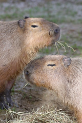 234A0247.jpg (Mark Dumont) Tags: animals capybara cincinnati dumont mammal mark zoo