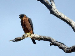 Australian Hobby hunting (jeans_Photos) Tags: falcolongipennis falcon australianhobby grasshopper bird blackadderwetland woodbridge westernaustralia