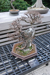 Bonsai, National Arboretum 127554 (thw05) Tags: art bonsai dc nature northamerica penjing people places thwilliamsphotography thomashwilliams thwphotoscom trees usnationalarboretum us usa washington tree plant