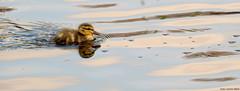 Baby duckling (Corine Bliek) Tags: bird birds vogel vogels eenden babyduck anasplatyrhynchos voorjaar spring lente newborn nature natuur wildlife