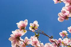 Diamonds of springtime (BodoB photography) Tags: magnolia nature flower bluesky bloom garden blossoming fressness springtime purple azure delicate
