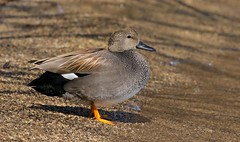 The Shady Rest (Slow Turning) Tags: anasstrepera gadwall male duck bird waterfowl standing beach water lake spring southernontario