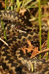 Male Adder (Derbyshire Harrier) Tags: 2017 adder britishnativesnake viper spring april easternmoors peakdistrict peakpark male britishnativereptile derbyshire rspb nationaltrust moorland reptile snake