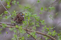 3418 (Condor Photography) Tags: whitethroatedsparrow bird sparrow