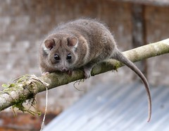 cuscus at kumul lodge (Pete Read) Tags: cuscus mammal marsupial kumul lodge mount hagen papau new guinea
