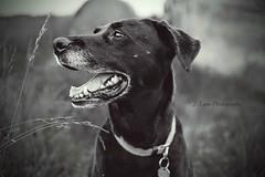 My Girl (Wild.Woods.Photography) Tags: aging blackandwhite blackandwhitephoto dog mansbestfriend farmdog blacklab labradorretriever labrador mygirl femaledog