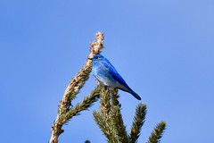 _DSC3898 (barrypphotos) Tags: mountain blue bird glen bow ranch pp nikon d500