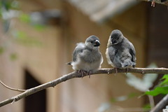 Java Finch Chicks (Seventh Heaven Photography) Tags: juvenile babies chicks java finch bird finches sparrow lonchuraoryzivora lonchura oryzivora indonesia nikond5200