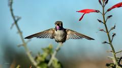 High Expectations (vgphotoz) Tags: vgphotoz marculescueugendreamsoflightportal hummingbird highexpectations wings wild nature arizona fountainhills nikon usa ngc npc