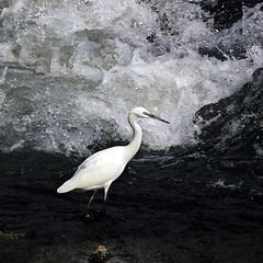A pesca (FM54TO) Tags: uccelli trampolieri garzetta egrettagarzetta fiume torino po