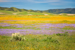 Painted by Nature - explore (alicecahill) Tags: california carrizoplain colorful landscape ©alicecahill sanluisobispocounty beautiful spring wildflowers usa