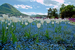 DSC_6729 (rayds2017 Photo) Tags: nikond3200 tamron1750mmf28 lugano parcovillaciani pasqua fiori tulipani primavera