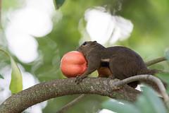 Ecureuil plantain (Philippe Lécuyer) Tags: botanicalgarden squirrel singapore mammifère mammal canon7dmarkii écureuil singapour