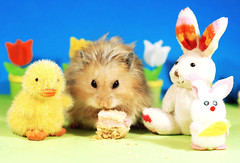 Easter Dinner ~ Gucio (pyza*) Tags: gucio bubu hamster hammie chomik syrianhamster animal pet rodent critter furry funny fluffy easter bunny holiday holidays