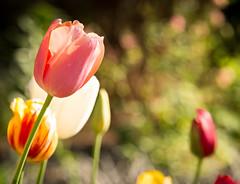 Tulips in Bloom at Duke Gardens (Wade Brooks) Tags: 2017 dukegardens april tulip flower bokeh