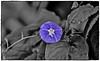 ஒரு ஊதாப்பூ கண் சிமிட்டுகிறது (Ramalakshmi Rajan) Tags: purple blue nikond750 nikkor70300mm flowers flower selectivecoloring inmygarden