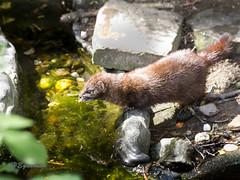 IMG_5466 (heguenter) Tags: natur 2017 ostern gangelt tierpark wisent wolf luchs vogel