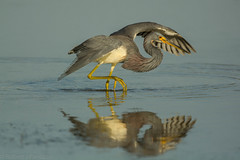 Frozen reflection {Explored} (ChicagoBob46) Tags: tricoloredheron heron bird florida bunchebeach nature wildlife explore explored