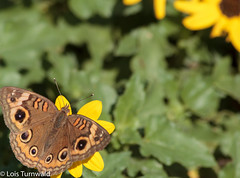 Butterfly on the Sun (11Jewels) Tags: canon 70300 butterfly perricopreserve manateecounty bradentonfl nature