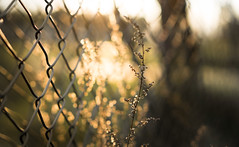 Fenced (--Conrad-N--) Tags: forest fence flickr friday dof dry bokeh sony saarow a7rm2 atardecer grass golden hff