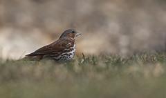 Fox Sparrow (tsandra996) Tags: sparrow fox wild nature wildlife wings spring