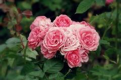 Quelques roses de l'année passée (mamietherese1) Tags: world100f earthmarvels50earthfaves phvalue coth fantasticnature