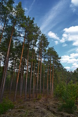On the forest margin (МирославСтаменов) Tags: russia moscowregion margin ditch sky cirrus pine tree crown sapling plantings forest dunes