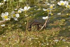 Mauremys leprosa- Emyde lépreuse- Mediterranean turtle (Je suis Charlie MS) Tags: geoemydidae testudines reptilia mauremysleprosa turtle mediterraneanturtle emporda catalunya espagne spain