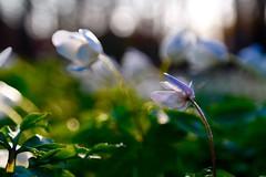 Inner Peace (Vivi Black) Tags: macro light bokeh blur nature outdoor green sunset forest flower spring beyondbokeh dreams