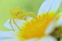 ARAÑA CANGREJO 06 (JuanMa-Zafra) Tags: araña cangrejo thomisus macro d7100 105mm nikon flash reflector difusor zafra extremadura margarita flores campo primavera