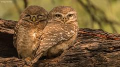 Spotted Owlet (Athene Brama) (Sanjay Dandekar) Tags: spottedowlet athenebrama owl birdportrait siblings bird bharatpur india indianwildlife owlpair pair sigma sigma150600mmsports nikon d500 wildlife keoladeoghananationalpark