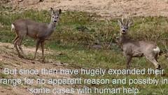The Capreolus Is Known As A Whisperer Deer. (chelse abriana) Tags: the capreolus is known as a whisperer deer