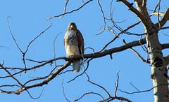 Red-tailed Hawk (Buteo jamaicensis); Santa Fe National Forest, NM, Thompson Ridge [Lou Feltz] (deserttoad) Tags: bird wildbird newmexico nature mountain tree behavior raptor hawk buteo fauna nationalforest