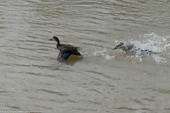 DSC_0216.jpg (Robert Graham YSLK) Tags: swanhill april24 duck 2017 wildlife feathers river nature birds splash flying