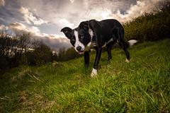 DSCF3783 (donnyhughes) Tags: dog dogs border collie short haired cumbernauld glasgow scotland fuji xt1