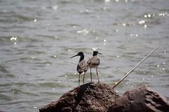 Some Sort of Shorebird