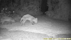 TrailCam218 (ohange2008) Tags: trailcam essexgarden peanuts dogfood april cat foxes badger