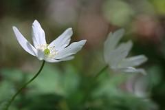 Petites Sauvageonnes (Callie-02) Tags: canon pastels profondeurdechamp macro jardin extérieur fleur
