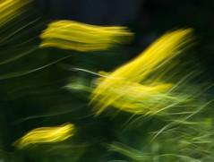 Flora en movimiento (Joaquim F. P.) Tags: flower flor macro flora movimiento blur intentionalblur macromondays nikon tarragona vilaseca salou costadaurada viento wind natura nature motion