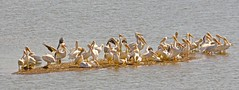 Migrating Pelicans Rest On The Mississippi River (showmesavings) Tags: pelicans mississippiriver migratingpelicans migration sandbar chaotic