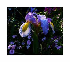 Spring Iris, 2017 (Joe Franklin Photography) Tags: iris spring dukegardens dukeuniversity almostanything floral flower