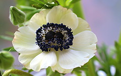 Anemone with a double Heart (abrideu) Tags: abrideu canoneos100d white anemone depthoffield bright bokeh macro flower plant indoor ngc npc