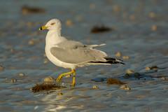 High stepping it (ChicagoBob46) Tags: ringbilledgull gull bird bunchebeach florida nature wildlife