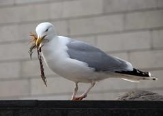 Seagull (irio.jyske) Tags: nest build animal bird seagull townscape town tallin estonia sigma canon
