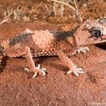 Banded knob-tailed gecko (Nephrurus wheeleri wheeleri) thumbnail