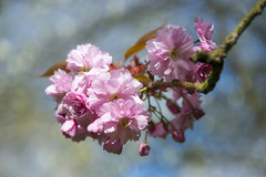 Cherry blossom (Keartona) Tags: cherry blossom blooming flowers pink double stem branch england park shallowdepthoffield soft blur flower cluster tree spring