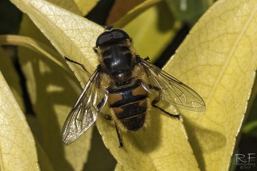 Bee Look alike